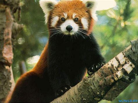 read panda phyla the panda
