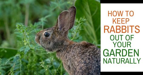 how to keep rabbits out of your garden naturally montana happy