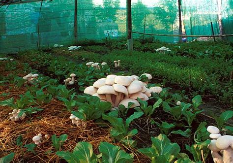 high resolution mushroom garden 3 mushrooms growing in