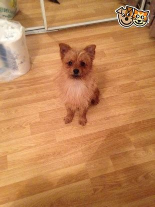 10 month yorkie still for sale 10 month yorkie x pomeranian rotherham south pets4homes