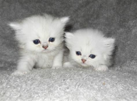 gatti persiani bianchi gatto persiano variet 224 chinchilla il pi 249 raffinato della