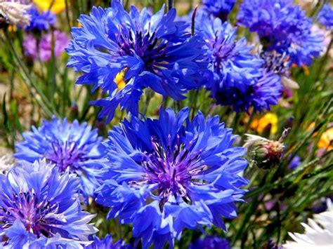 fiore definition fiori fiordaliso fiori di piante