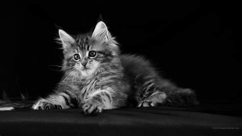 cat wallpaper home 1920x1080 cat wallpaper full hd 1920x1080 stunning free