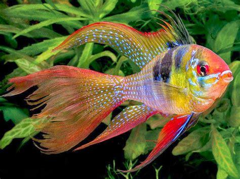 Jual Ikan Hias by Inilah 5 Ikan Hias Air Tawar Yang Paling Populer Di