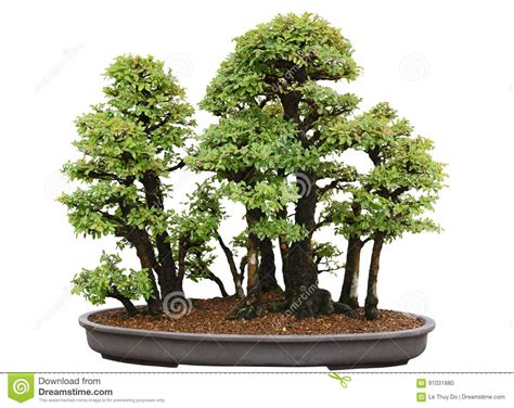 elm tree symbolism japanese elm bonsai tree stock photo image of life grow
