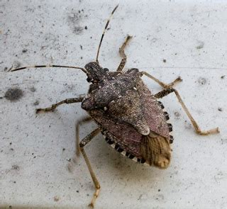 natural predator of bed bugs royal pest stink bugs invading my home