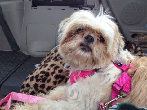 shih tzu shaking for no reason zoe s friends animal rescue hooray i m adopted 276 doggies adopted so far