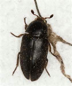 black carpet beetle dermestes bugguide net
