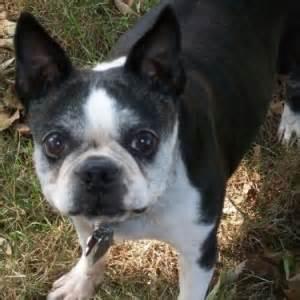 Boston Terrier Rescue Boston Terrier Rescue Adopt A Pet