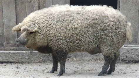 the sheep pig this sheep pig produces the world s greatest bacon probably