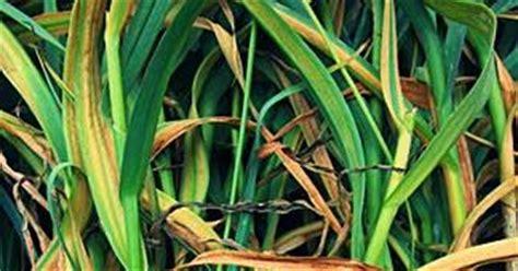 Harga Bibit Ubi Ungu tanaman dan manfaatnya cara menanam bawah putih di