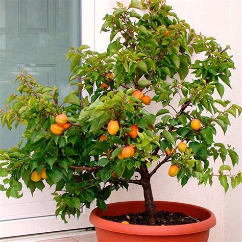 Small Self Watering Pots by Dwarf Apricot Tree Aprigold Pna018 Pomona Fruits