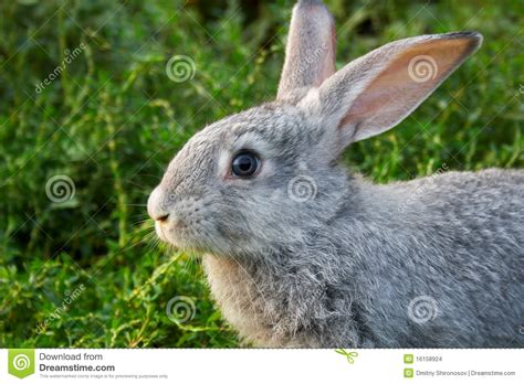 Grey Rabbits grey rabbit stock images image 16158924