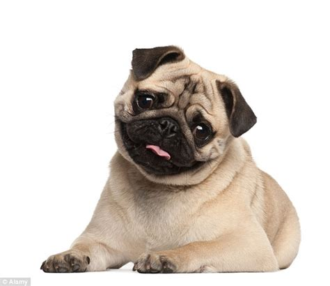 breeds like pugs thefts up by 20 in two years as thieves go for trendy breeds daily mail
