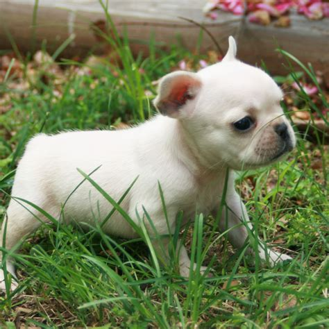 bulldog puppy puppy gallery pictures