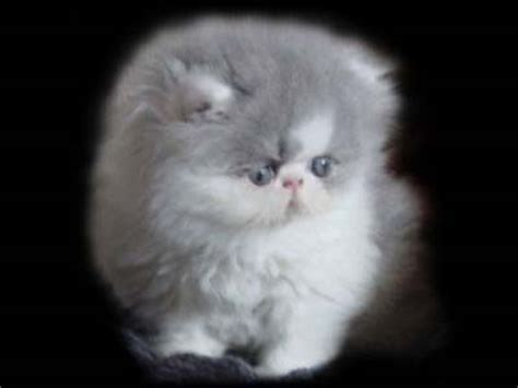 gatti persiani immagini pin gattini persiani animali in vendita a enna on