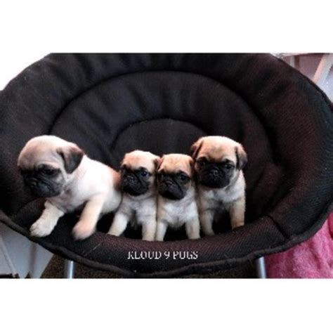 elizabeth pug kloud 9 boxers and pugs pug breeder in elizabeth colorado 80107 freedoglistings