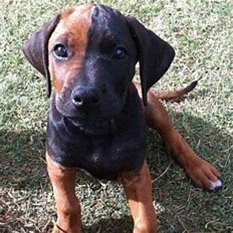 ridgeback puppies rhodesian ridgeback puppy pictures yes