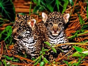 Jaguar Rainforest Facts Top 10 Facts About Jaguars Rainforest Cruises