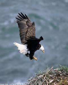 burung rajawali burung elang kumpulan gambar foto binatang hewan flora fauna