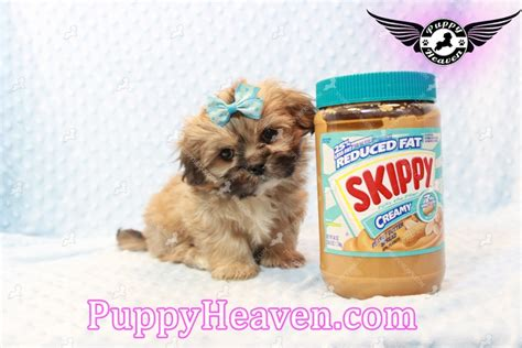 teacup shih tzu puppies for sale in nc yorkie maltese shih tzu breeders teacup puppies breeds picture
