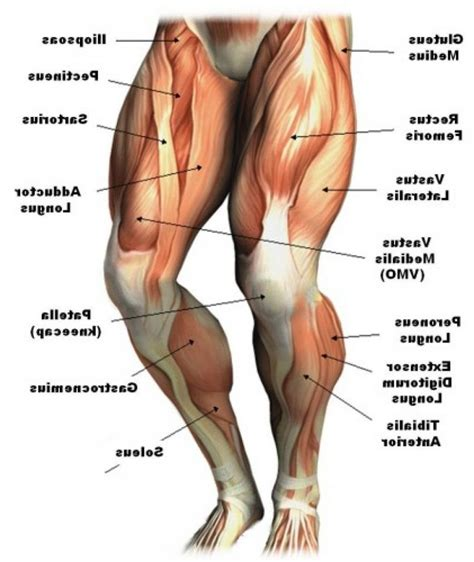 muscles diagram thigh muscles labeled human thigh muscles diagram leg