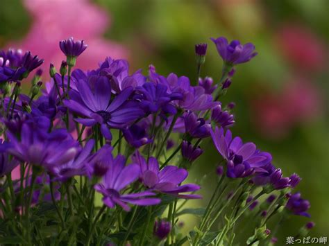 plant with purple flowers purple flowers photo dot com