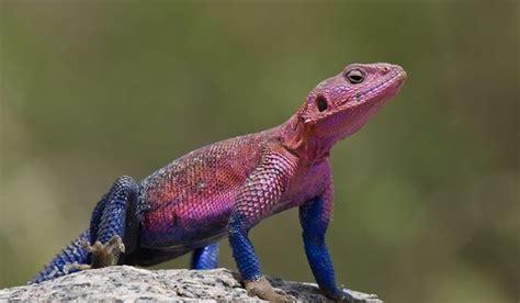 lizards considered reptiles  amphibians quora