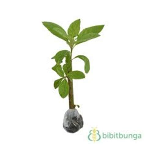 Daun Afrika 1 Kg tanaman gempur batu keji beling bibitbunga