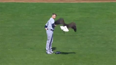 bald eagle lands on seattle mariners james paxton while