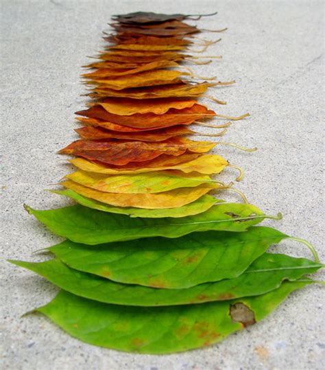 what causes leaves to change color in the fall the chemicals that cause leaves to change color in fall
