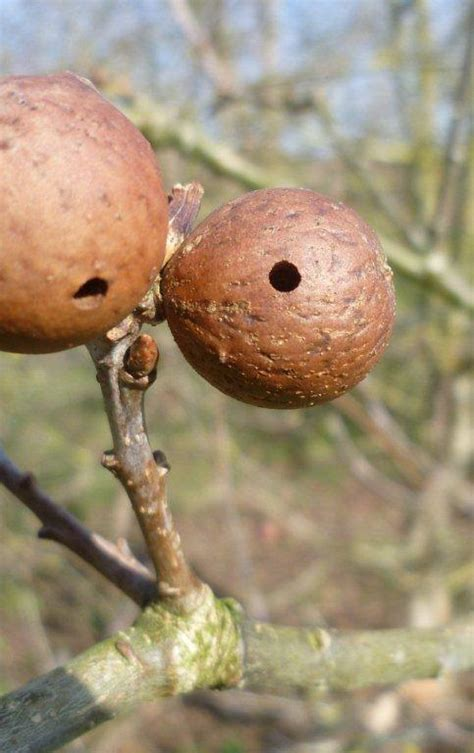 Oak Galls forest oak gall ink the wilderness guide