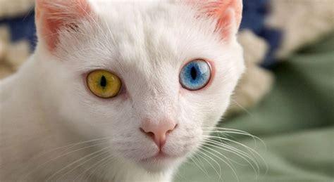 occhi di due colori diversi gatti con occhi di colore diverso petpassion