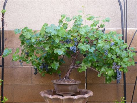 Cabernet Grapevine Bonsai It Or It by Cabernet Sauvignon Grape