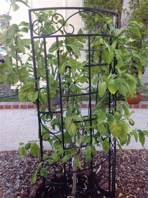 fruit trees las vegas lemon tree woes in las vegas to eat radio trees