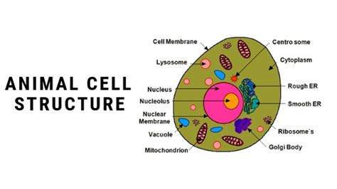 difference  plant cell  animal cell