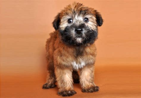 wheaten terrier puppy wheaten terrier wheaten terrior puppy breeds picture