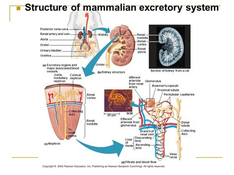 diagram of mammalian diagram the mammalian urinary system image collections