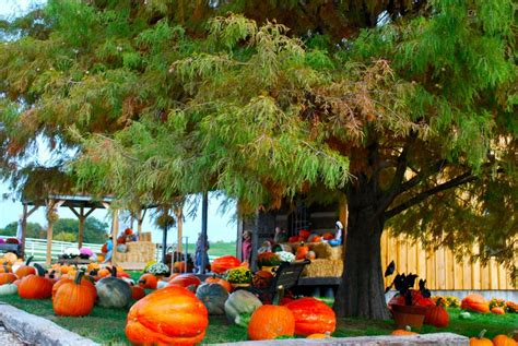 tree farms missouri pumpkins pumpkin patch straw maze and