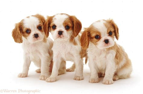 king charles puppies cavalier king charles spaniel puppies for sale