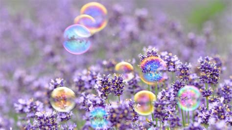 wallpaper bunga full hd gelembung bunga ungu musim semi hd wallpaper desktop
