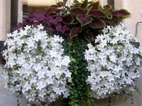 Plants & Flowers » Trailing Campanula