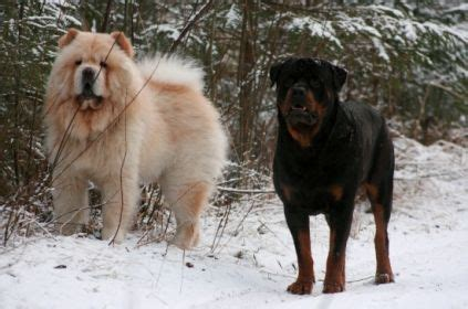 chow rottweiler chow chow and rottweiler