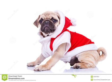 pug in santa costume pug puppy wearing a santa claus costume stock images image 22327854