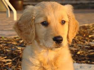 golden retriever puppies price range cover photo