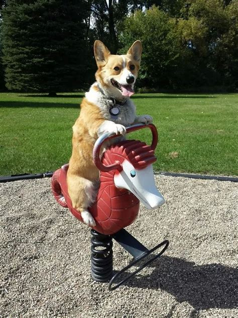 corgi puppies bay area 993 best images about corgis on corgis animals and pets and dogs