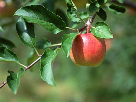 apple tree with fruits 5 great foods that you can eat to keep your teeth healthy