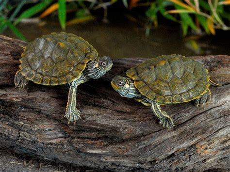 Black Knobbed Map Turtle For Sale by 17 Best Images About Turtles Swim Buddy On