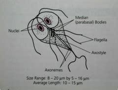 labelled diagram of entamoeba histolytica bcc parasitology test 2 flashcards quizlet