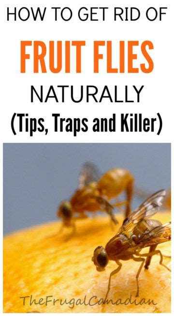 how to get rid of fruit flies in bathroom best 25 fruit fly killer ideas on pinterest what kills